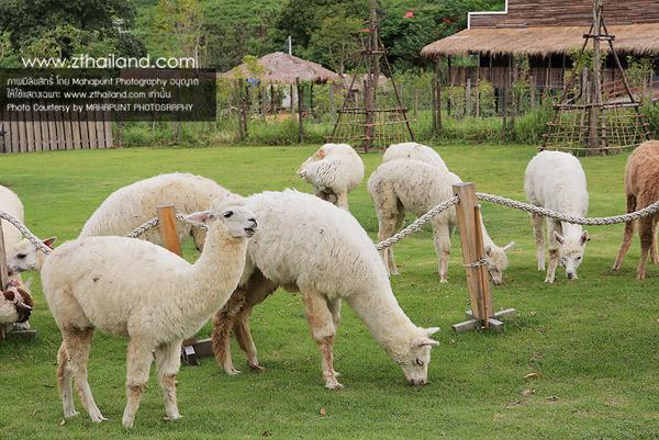 อัลปาก้าฮิลล์ (Alpaca Hill) สวนผึ้ง ราชบุรี