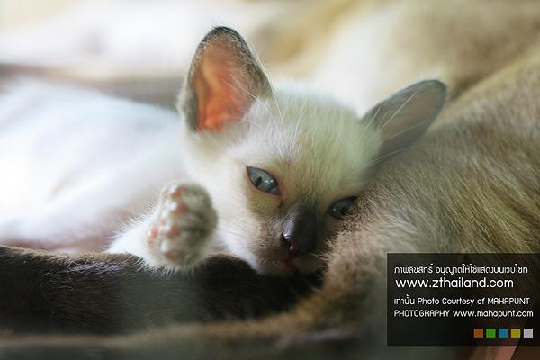 ศูนย์อนุรักษ์แมวไทยโบราณ หรือ บ้านแมวไทย