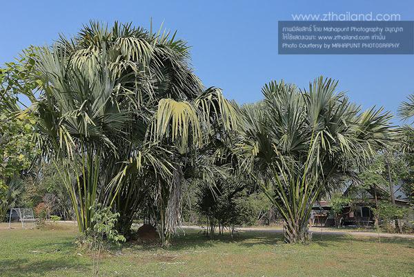 ป่าลาน อุทยานแห่งชาติทับลาน ปราจีนบุรี