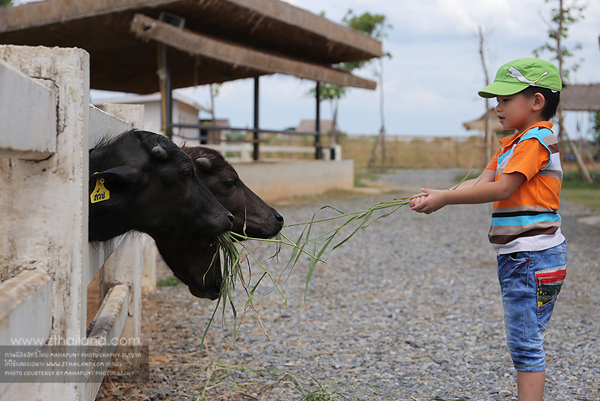 มินิมูร่าห์ฟาร์ม (Mini Murrah Farm) ฉะเชิงเทรา