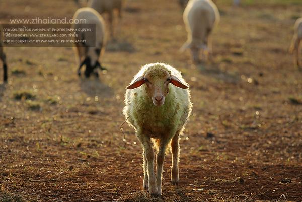 Sheep Garden เขาใหญ่ นครราชสีมา